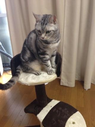 【画像あり】猫にタワーを買ってやったら、さっそく!!