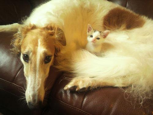 【画像あり】ボルゾイと仲良く暮らす猫