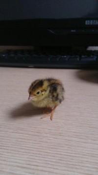 【画像あり】スーパーのウズラの卵を温めたらヒナが孵ったよ♪
