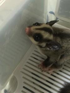 【画像あり】体長7cmの小さなモモンガの赤ちゃんキターー!