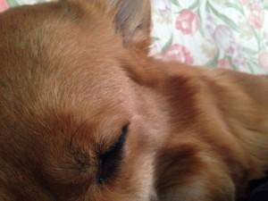 【画像あり】飼い主のすぐ真横でコーギーが熟睡中。。。