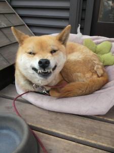 【画像あり】愛犬のスマイル3連発 点数つけるとしたら何点?