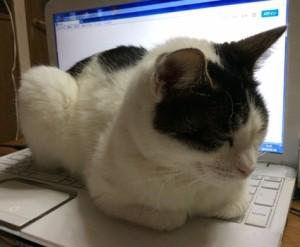 【画像あり】念願だったんだ、飼い猫に作業を邪魔されること♪